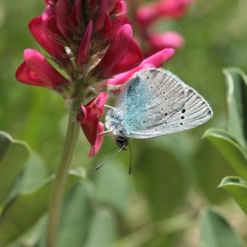 Farfalla - Glaucopsyche alexis