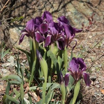 Iris lutescens viola