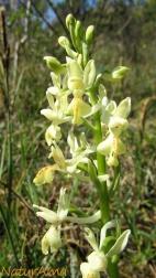 Orchidea - Orchis provincialis