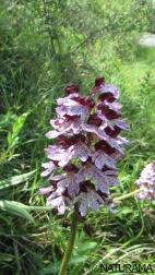 Orchidea- Orchis purpurea